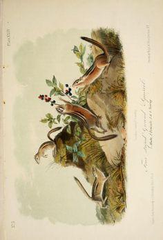 Chipmunks, The quadrupeds of North America, John James Audubon, Vol I, 1851-54.