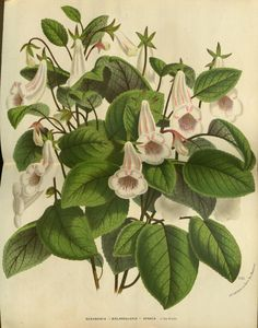 Stunning exotic botanical from Louis van Houtte's, Flore des Serres et des Jardins de l'Europe (Flowers of the Greenhouses and Gardens of Europe). Illustration Botanique, Botanical Illustration, Impressions Botaniques, Europe, Illustrations, Clematis, Botanical Prints, Vintage Flowers, Flower Prints