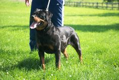 19 Best Hardrada Rottweilers images in 2017 | Champion