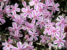 Creeping Phlox, Maryland Spring Flowers IMG_7484  Photograph by Roy Kelley using a Canon PowerShot G11 camera.  Roy and Dolores Kelley Photographs.