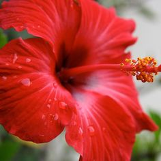 20.red hibiscus star