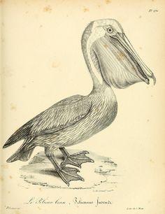 Brown Pelican. La galerie des oiseaux t.2  Paris :Carpentier-Méricourt,1834.  Biodiversitylibrary. Biodivlibrary. BHL. Biodiversity Heritage Library