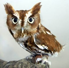 baby screech owl. Also make me think of that one owl form legend of the guardians. The little grumpy one played by Geoffrey Rush