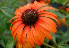"Echinacea 'Tangerine Dream': Everything a great garden plant should be. Elegant 4"" clear orange flowers have wide, overlapping petals. The bloom color holds better than any we have ever seen and the flowers have a lovely honey-scent. This is in our landscape series due to its size and multiple, wide-branching strong stems. Super for the sunny landscape, in mass or in a mixed planting. Great for cutting. Received the highest rating at MSU for container culture."