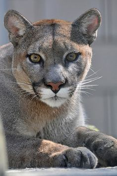 Puma il mio animale TOTEM