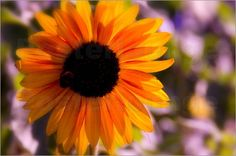 Sonnenblume Impressionen - Tanja Riedel