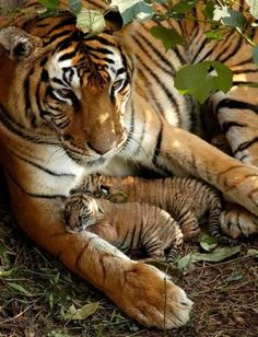 Mama Tiger with newborn babies