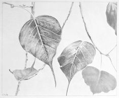 *Leaves of a Bo Tree*; drawing by me with graphite pencils on paper; 34 x 30 cms.