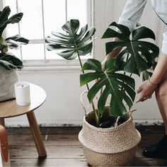 Seagrass belly baskets with Monstera plant