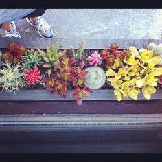 *colorful* succulents