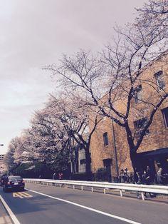道沿いに満開の桜