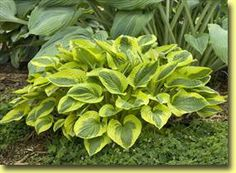 Hosta - Tropical Storm    This INCREDIBLE sport of 'Rainforest Sunrise with dark green leaf centers and bright yellow margins. Forms a dense eye-catching mound.