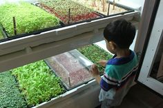 Urban Cultivator an Indoor gardening system by using hydroponics to grow greens and microgreens