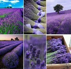 Oh, the sweet smell of lavender.