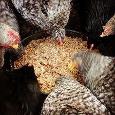 Recette de la pâtée pour poules étape par étape. Préparer une pâtée pour poules avec des restes de table est un bon complément alimentaire pour vos poules. Elles vont l'adorer tiède en hiver et fraîche en été!