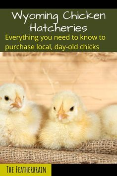 Find chicken hatcheries near you in the state of Wyoming  and learn which breeds they carry. Whether you want rare, friendly heritage breeds, the best egg layers, or beautiful giant breeds, you'll learn where to find them here. Types Of Chickens, Raising Chickens, Day Old Chicks, Chicken Breeds, Backyard Chickens, Chicken Eggs, Wyoming, Need To Know, Layers