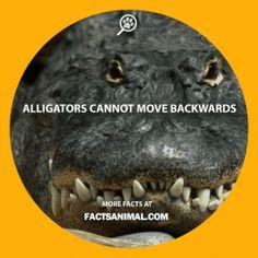 alligator-backwards