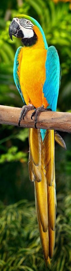Blue Yellow Macaw - Brazil