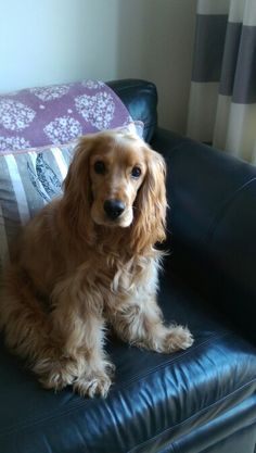 English Cocker Spaniel - Cats and Dogs House English Cocker Spaniel, Perro Cocker Spaniel, Spaniel Dog, Cocker Spaniel Haircut, Spaniels, Golden Cocker Retriever, Golden Cocker Spaniel, Cute Puppies, Cute Dogs