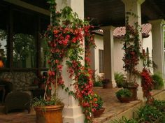 Bignonia capreolata ~ Crossvine USDA zones: (can someone tell me if this is the same thing as a Trumpet Vine? mediterranean porch by JOHN DANCEY Custom Designing/Remodeling/Building Vine Design, Plant Design, Veranda Design, Front Porch Design, Front Porches, California Missions, Climbing Vines, Climbing Flowers, My Pool