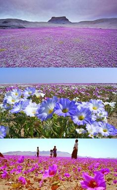desierto florido, chile (unusual rainfall makes the desert burst into bloom Chili Travel, Rocky Mountains, Beautiful World, Beautiful Places, Places Around The World, Around The Worlds, Places To Travel, Places To Visit, San Pedro