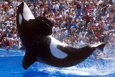 Image result for killer whale seaworld