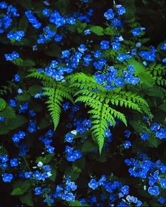 Ferns and forget-me-nots, a beautiful combination for a shady place by a water feature
