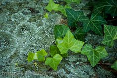 Ivy and Moss on a stone wall.