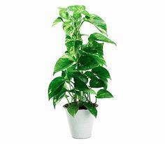 Efeutute Herbs, Plants, Houseplants, Tips, Homes, Planets