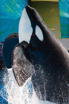 Good to read this article! Glad Sea World re-opened this attraction! I'm sure the trainer would also be happy that guests can experience her animals again. Orcas, Dolphin Family, Whale Tattoos, Seaworld Orlando, Cute Whales, Apex Predator, Sea Otter, Killer Whales, Sea World