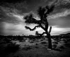 This is a lonely tree in Joshua tree I shot this with my Mamiya 7 film camera then I made it very dramatic with some dodge and burn! Do you guys still shoot on film? #photoserge #joshuatree #blackandwhite #sky #drama #mamiya7 #filmcamera #tree #california