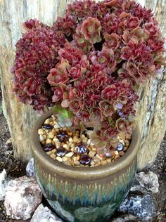 AEONIUM VELOUR CRESTATE IN A FANCY POT.