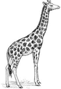 Giraffe drawing idea