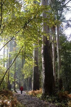 Souto da Retorta (Viveiro, Lugo) #Galicia Go Hiking, Wonderful Picture, Tree Forest, Pilgrimage, Places To Travel, Spain, Around The Worlds, Landscape, Grande