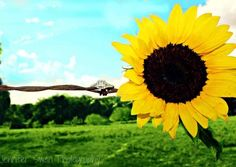 sunflower with engagement ring photo