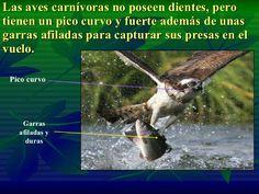 Las aves carnívoras no poseen dientes, pero tienen un pico curvo y fuerte además de unas garras afiladas para capturar sus...
