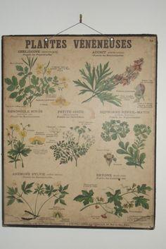 Deyrolle -  Planche Ecole N°51 Sciences Naturelles - Plantes Vénéneuses