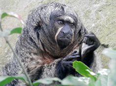 Grumpy looking white faced saki monkey