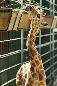 Exhibit B: Giraffes have super-cute long necks! | Animals March Madness, Round One: Giraffes Vs. Elephants