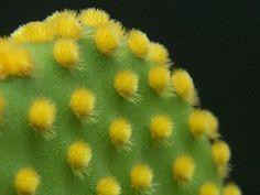 Cactus raquette (Opuntia microdasys)