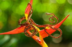 "The caracolera is a common, but restless snake. ""Getting a photograph of his whole body was the challenge"