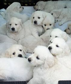 Golden Retriever Puppies: 12 Adorable Litters of Baby Animals - mom.me