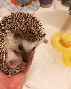 Have no fear Our soothing Lavender Hogwash is tough on dirt, but gentle on your quills and coat. We're sure your yellow ducky friends would agree that after a bath with Hogwash, you'll be looking sharp! Happy Hedgehog, Hedgehog Pet, Cute Hedgehog, Baby Animals Super Cute, Cute Little Animals, Cute Funny Animals, Baby Animals Pictures, Cute Animal Pictures, Animals And Pets
