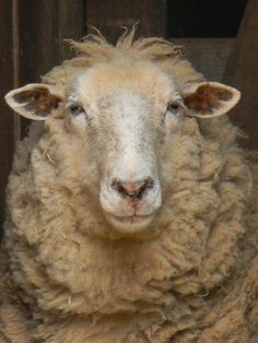 Notforgotten Farm - what a great name for a farm! Sheep Pig, Sheep And Lamb, Lord Is My Shepherd, The Good Shepherd, Farm Animals, Animals And Pets, Cute Animals, Beautiful Creatures, Animals Beautiful