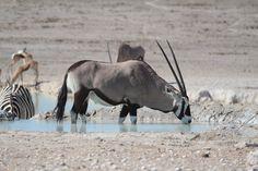 Gemsbok - Etosha National Park - Namibia