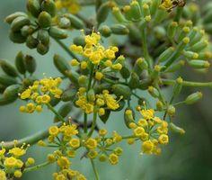 fiori e semi di finocchio selvatico