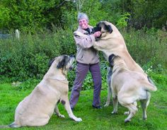 Modern Molosser asked six Mastiff breeders from around the world for their opinions on the state of the breed today. Here are their responses. Modern Molosser  |  www.modernmolosser.com