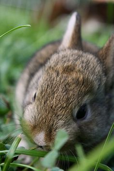 untitled by Meredith Jacobs on Flickr.  #baby bunny #baby #bunny #cute #fluffy #cuteness #adorable #rabbit