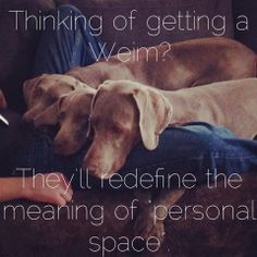 This is beyond true!!! Love my Weim!!! Bentley has no regard for personal space!!