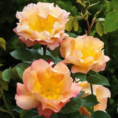 Fighting Temeraire English Rose ...   Named after the famous luminous JMW Turner painting of the same name, Fighting Temeraire features red-tip buds that open to equally luminous apricot flowers measuring 4-5 inches across.